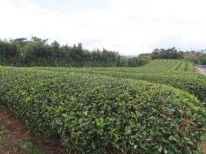 国頭村 奥の茶畑